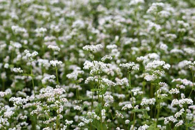 fleur-de-sarrasin-farine-sarrasin-ble-noir