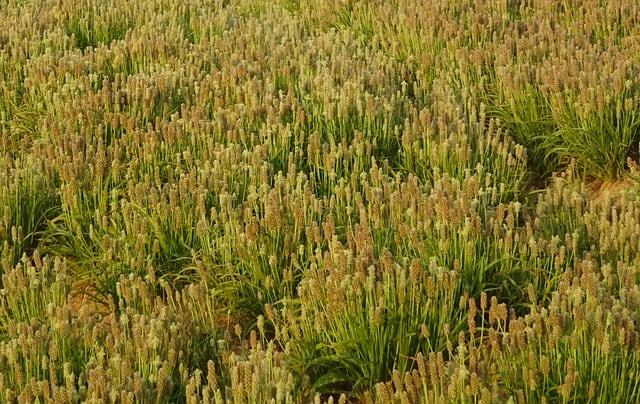 plante-ispaghul